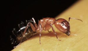 Sarasota Carpenter Ant control infestations