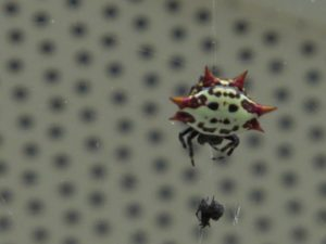 Happy Faced Orb Weaver Spider