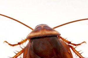 Sarasota Pest Control Palmetto Bug American Cockroach Water Bug
