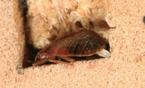 bed bug control shows bug laying egg in wood